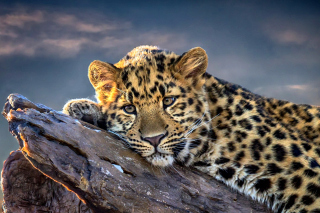 Sad Leopard Picture for Android, iPhone and iPad