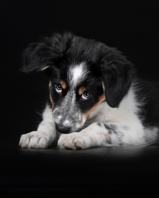 Bernese Mountain Dog Picture for 480x640