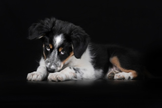 Free Bernese Mountain Dog Picture for 1366x768
