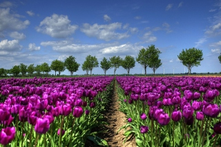 Purple Tulip Field In Holland - Obrázkek zdarma