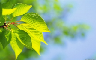 Green Cherry Leaves Wallpaper for Android, iPhone and iPad