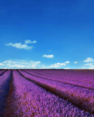 Lavender Fields Location Background for Nokia Asha 300