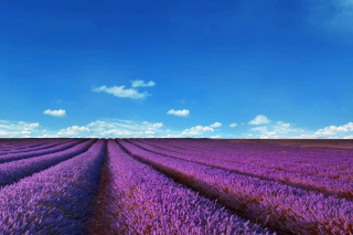 Free Lavender Fields Location Picture for Nokia XL