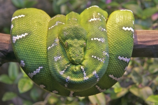 Emerald Green Tree Snake sfondi gratuiti per cellulari Android, iPhone, iPad e desktop