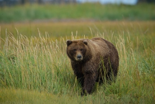Grizzly Bear Wallpaper for 480x320