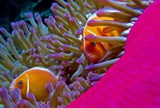 Orange Clownfish - In Florida sfondi gratuiti per Samsung Galaxy S6 Active