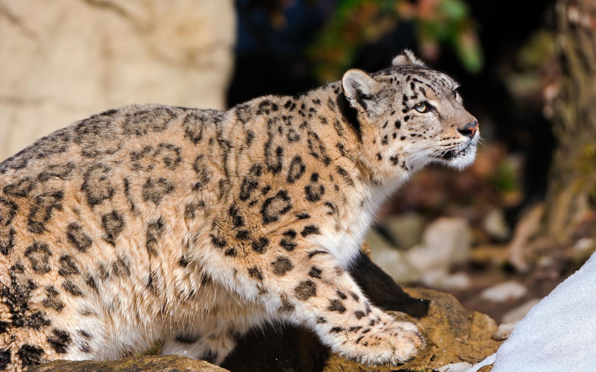 фото белого леопарда экспострое нам помогли