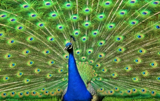 Peacock Tail Feathers Wallpaper for Android, iPhone and iPad