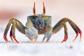 Ghost crab Wallpaper for Android, iPhone and iPad