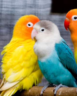 Colorful Parrots Wallpaper for Nokia C1-01