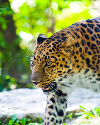Wild Leopard Picture for HTC Titan