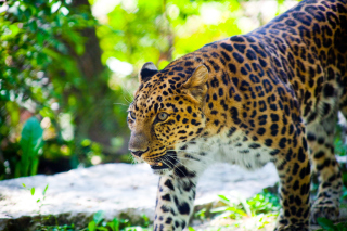 Wild Leopard Wallpaper for Android, iPhone and iPad