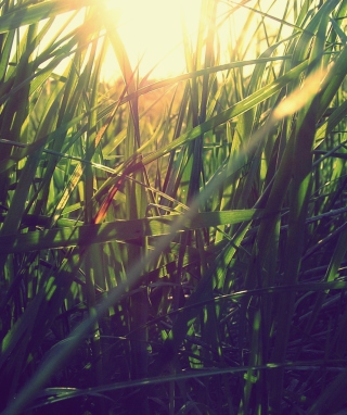 Grass Under Sun Wallpaper for Nokia C1-01