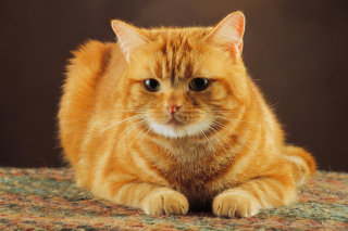 Ginger Cat Wallpaper for Android, iPhone and iPad