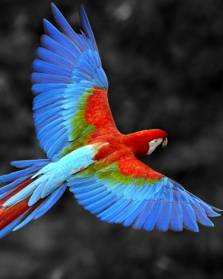 Macaw Parrot Background for Nokia Asha 306