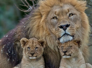 Free Lion Family Picture for Android, iPhone and iPad