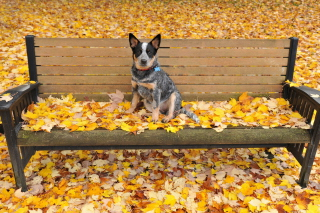 Dog On Autumn Bench Background for Android, iPhone and iPad