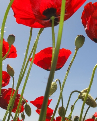 Red Poppy Field Background for HTC Titan