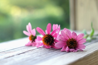 Pink Daisies sfondi gratuiti per cellulari Android, iPhone, iPad e desktop