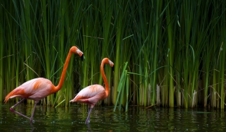 Two Flamingos Background for Android, iPhone and iPad