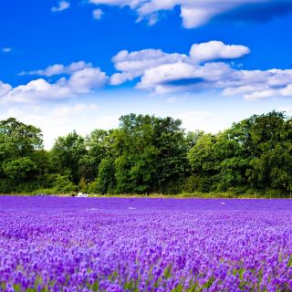 Purple lavender field sfondi gratuiti per iPad mini