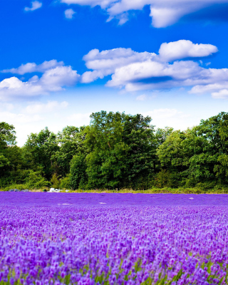 Free Purple lavender field Picture for Nokia Asha 306