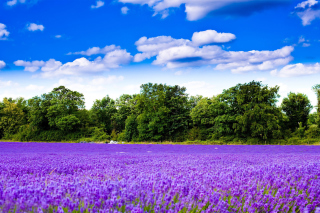 Purple lavender field Picture for Android, iPhone and iPad