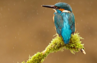 Blue Kingfisher Bird Picture for Android, iPhone and iPad