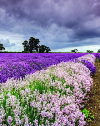 Lavender Field Picture for 240x320