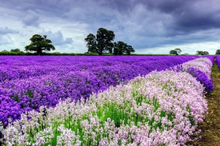 Lavender Field Picture for Samsung Galaxy S5