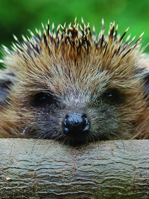 Hedgehog-Close-Up-480x640.jpg