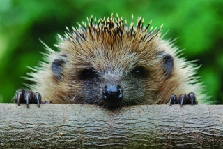 Hedgehog Close Up Background for Android, iPhone and iPad