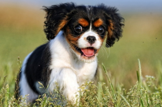 Cavalier King Charles Spaniel Picture for Android, iPhone and iPad