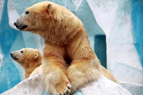 Polar Bears para Samsung S5367 Galaxy Y TV