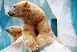 Polar Bears Picture for Android, iPhone and iPad