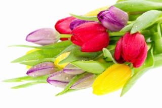Fresh Tulips Wallpaper for Android, iPhone and iPad