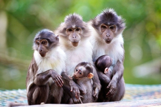 Funny Monkeys With Their Babies Wallpaper for Android, iPhone and iPad