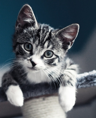 Cute Grey Kitten Wallpaper for Nokia 5800 XpressMusic
