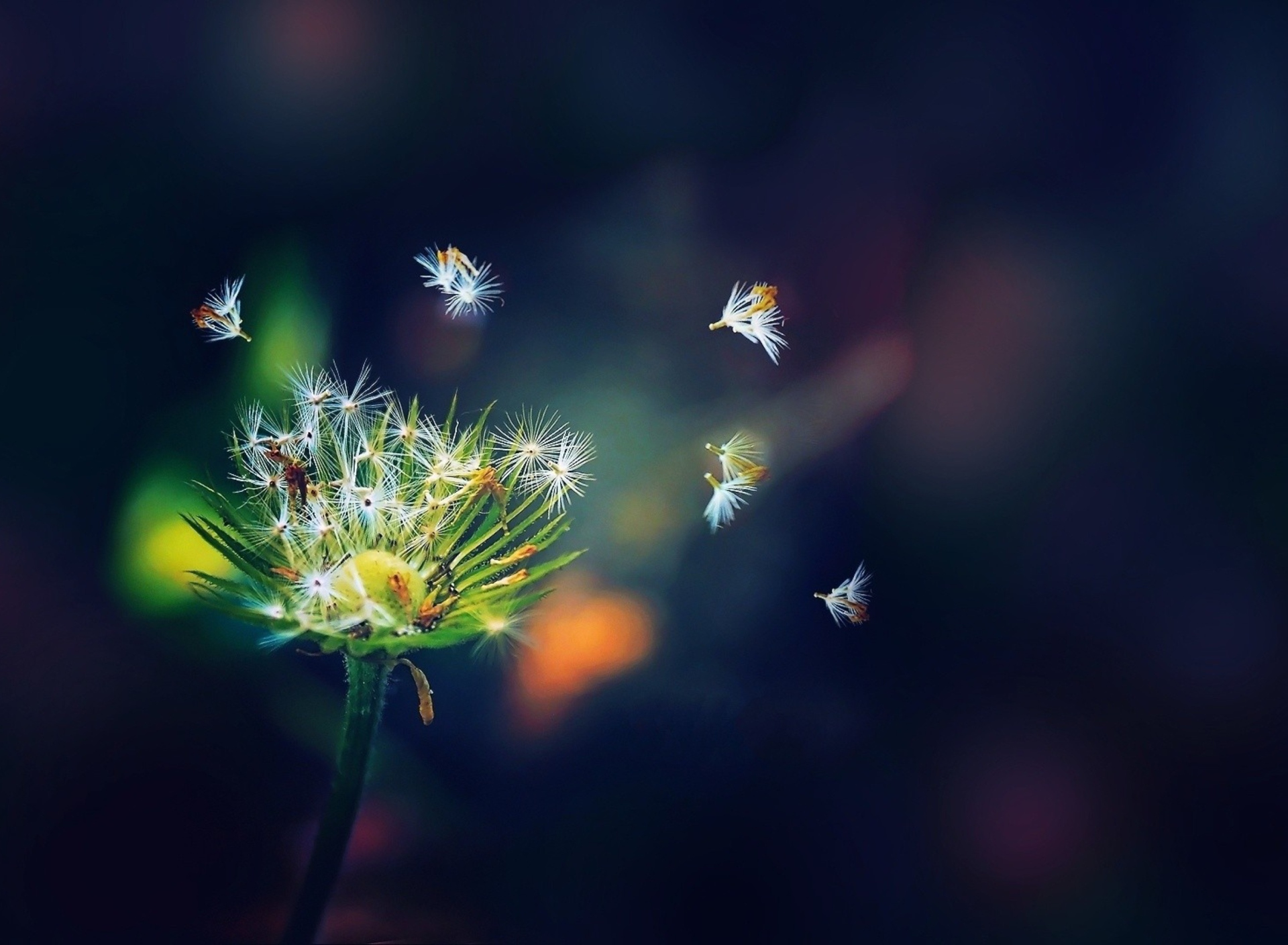 природа макро роса одуванчик цветы бесплатно