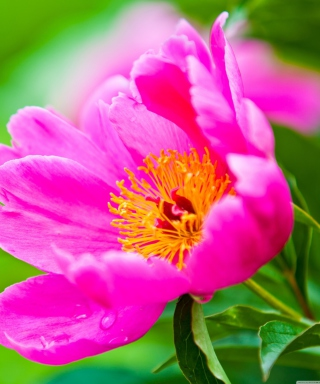 Free Bright Pink Flower Picture for Nokia Asha 308