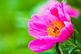 Free Bright Pink Flower Picture for HTC Wildfire