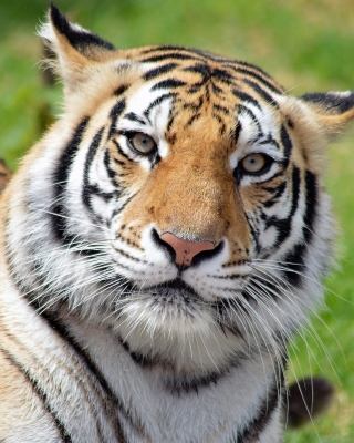 Free Malayan tiger Picture for Nokia Asha 306