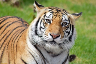 Malayan tiger Picture for HTC Desire HD