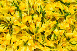 Yellow Flowers Wallpaper for Android, iPhone and iPad