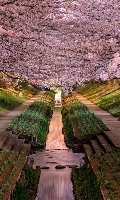 Screenshot №1 pro téma Wisteria Flower Tunnel in Japan 240x400