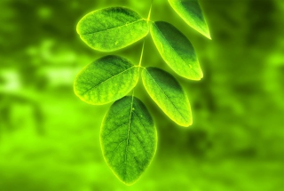 Free Acacia Leaf Picture for Android, iPhone and iPad