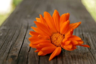 Bright Orange Flower sfondi gratuiti per cellulari Android, iPhone, iPad e desktop