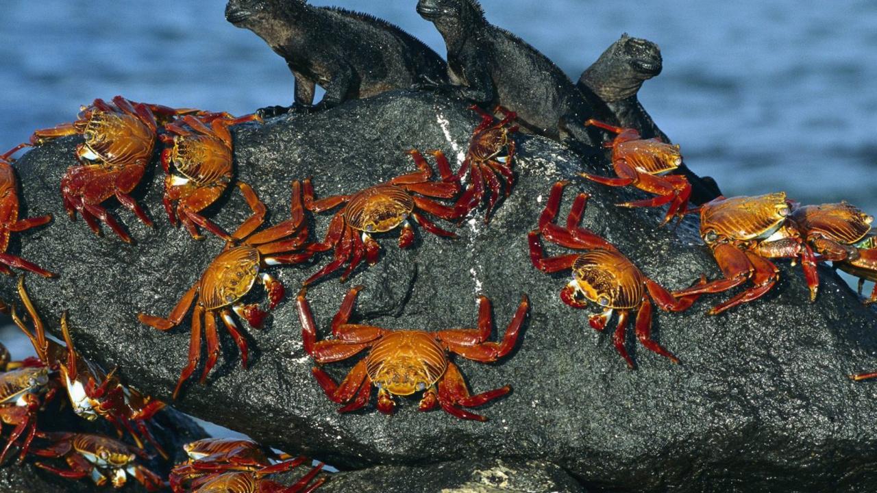 Iguanas And Crabs