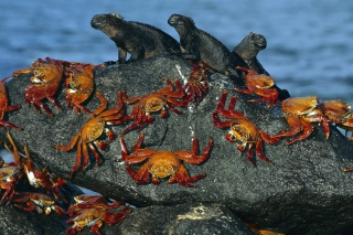 Iguanas And Crabs Wallpaper for Desktop 1280x720 HDTV