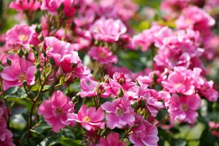 Kostenloses Rose bush flowers in garden Wallpaper für Android, iPhone und iPad